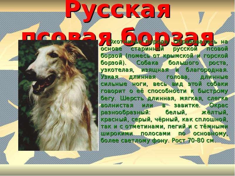Русская борзая собака: фото, характеристика и описание породы