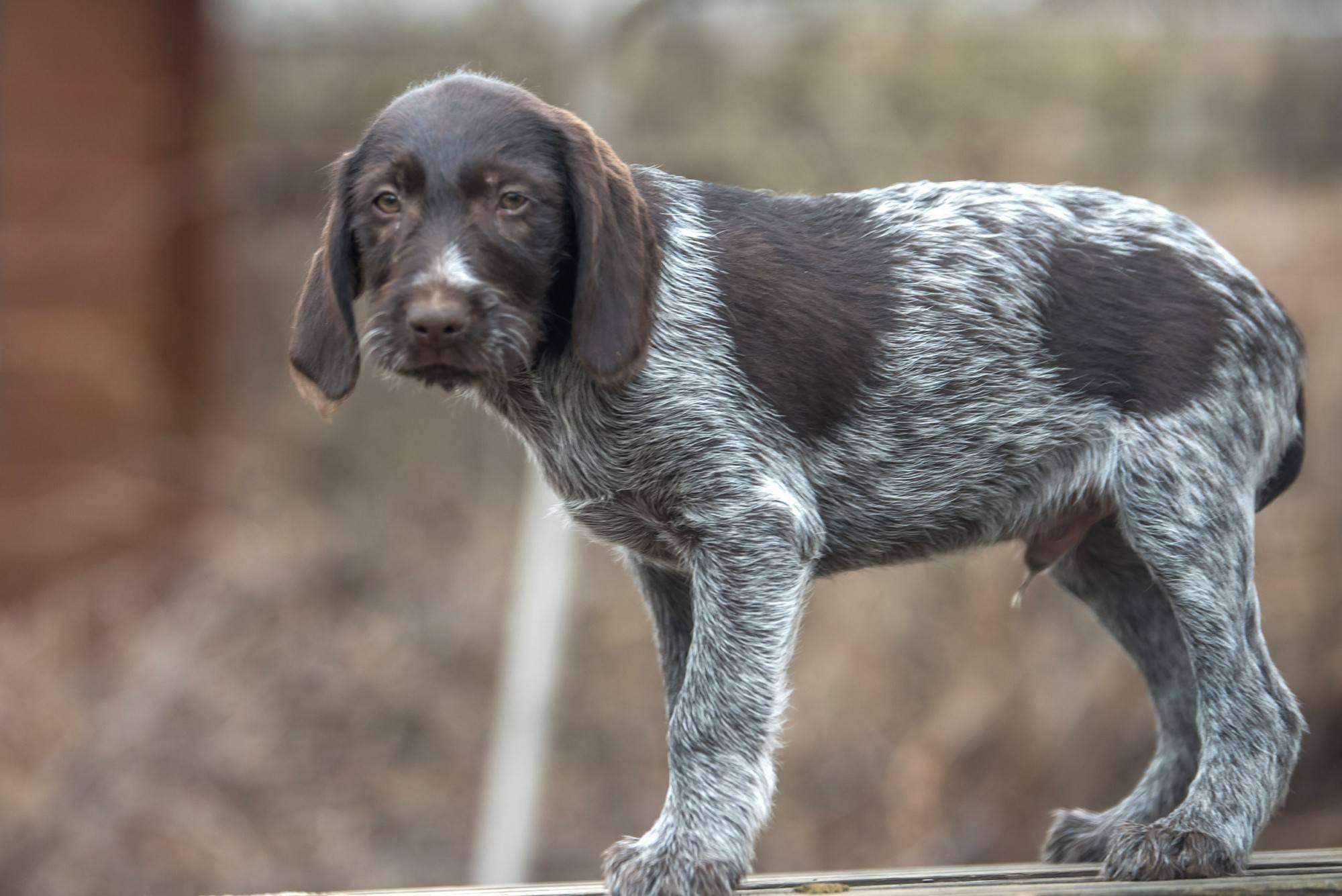 Курцхаар: все о собаке, фото, описание породы, характер, цена