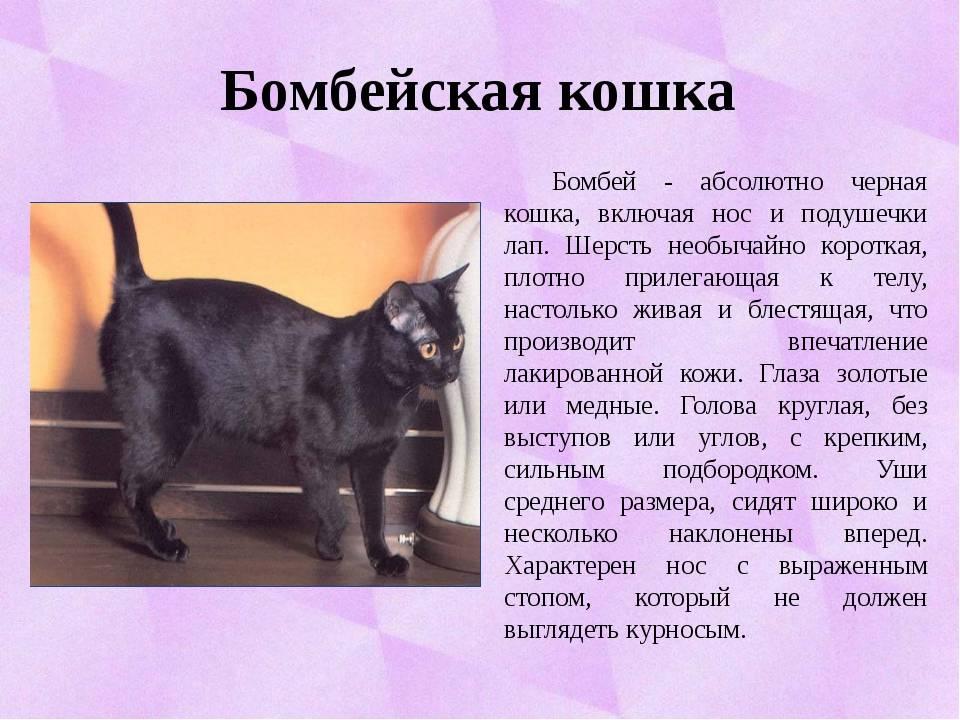 Породы черных кошек, поведение и содержание животных