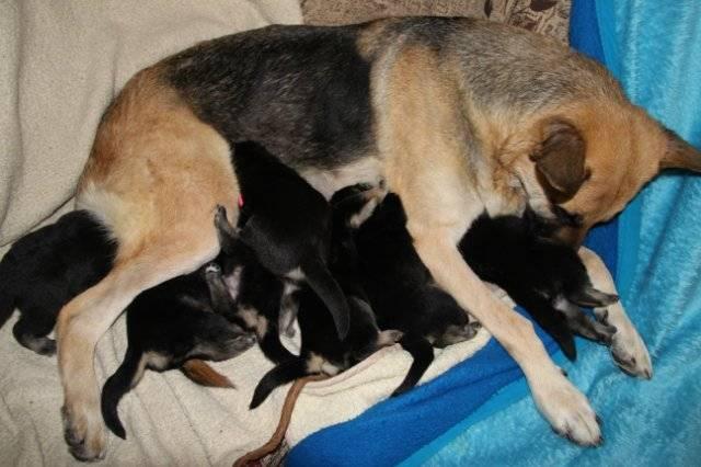 Когда щенки после рождения открывают глаза, приобретают слух и как правильно следить за их здоровьем