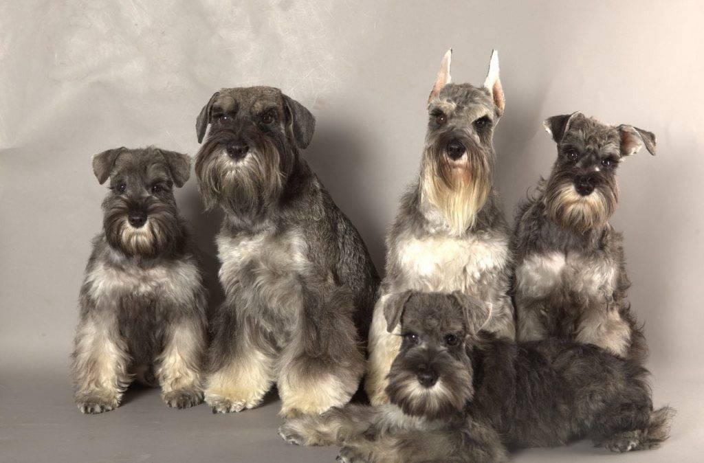 Порода собак шнауцер (schnauzer): фото, видео, описание породы и её видов