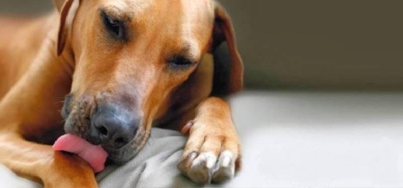 Почему собака лижет руки и что это значит?