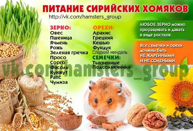Чем можно кормить хомяка в домашних условиях: список продуктов питания
