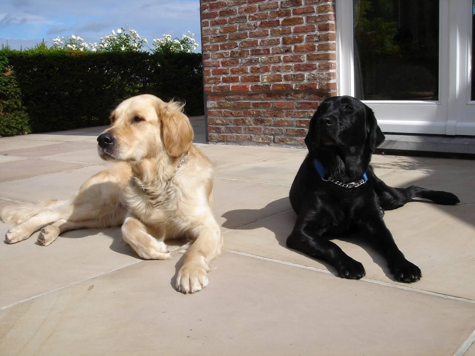 Лабрадор: стандарт породы по ркф, как отличить от дворняги и метиса, а также как правильно выбрать щенка
