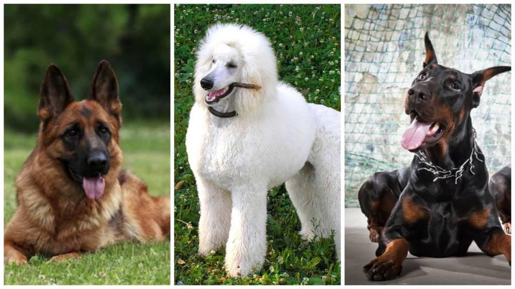 Самые умные породы собак в мире | science debate