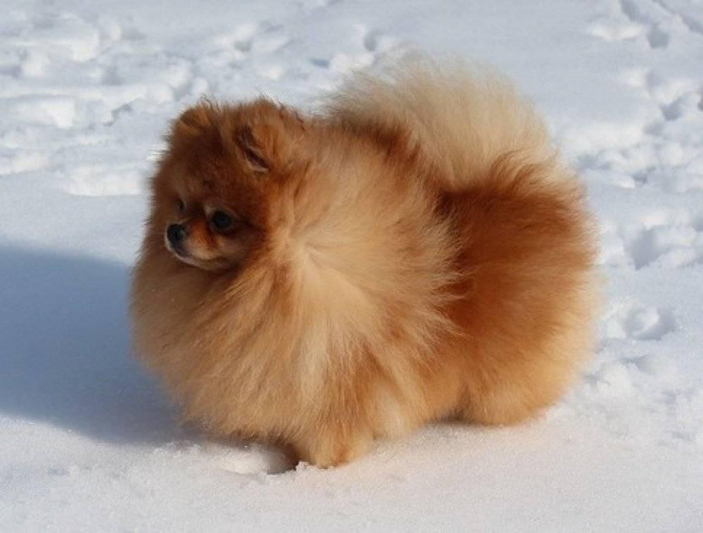 Померанский шпиц: фото собак, принятый стандарт, разновидности окрасов и какие существуют породные типы + как выбрать щенка
