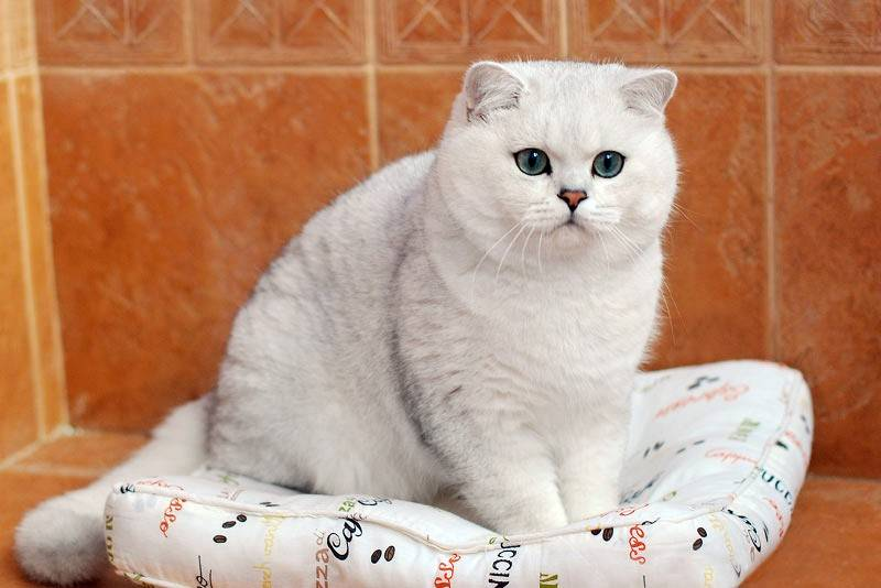 Британские золотые кошки: особенности окраса и описание породы