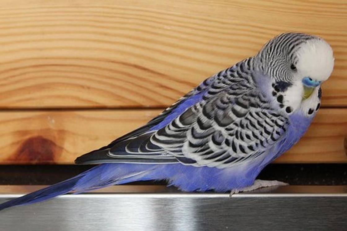 Как научить волнистого попугая говорить? как за 5 минут научить разговаривать попугая-мальчика и девочку в домашних условиях?