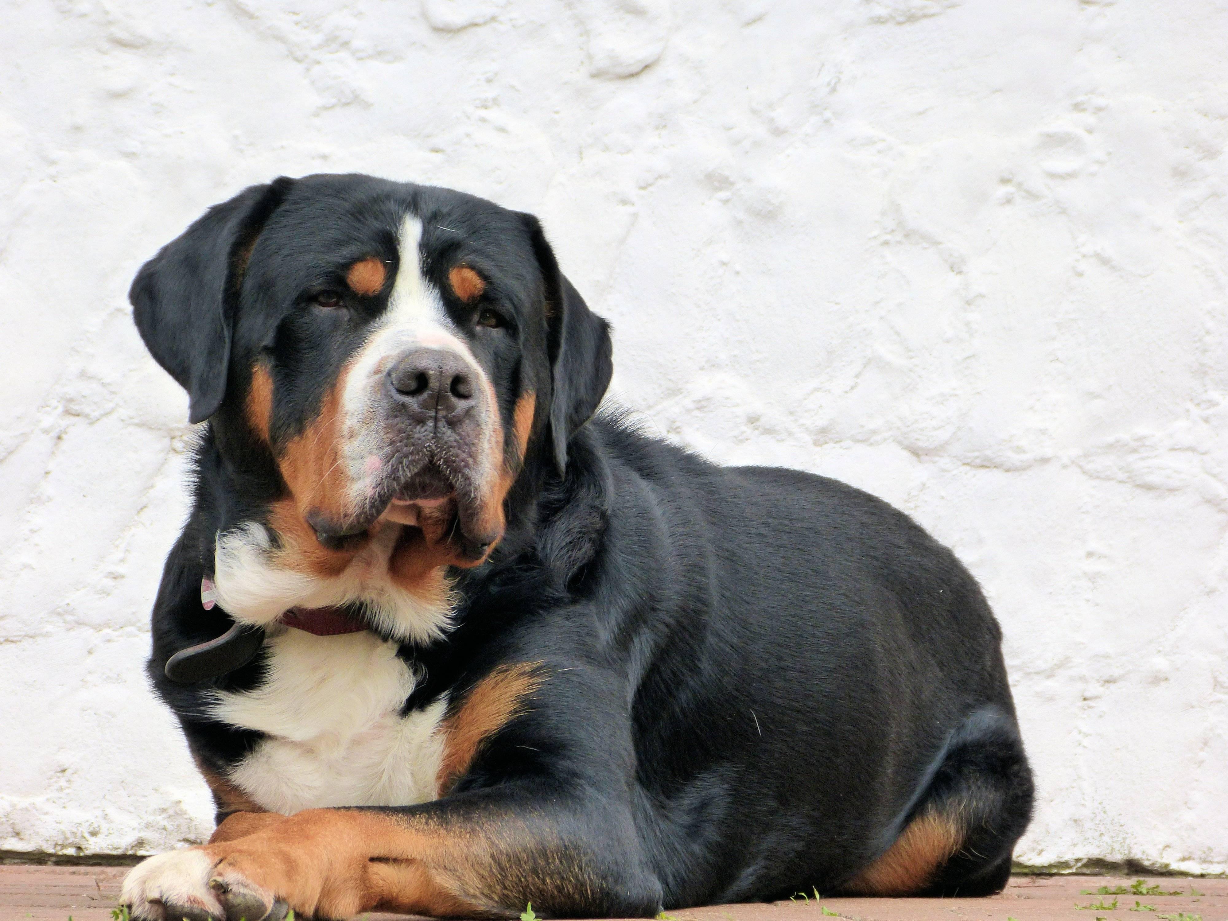 Большая швейцарская горная пастушья собака (большой швейцарский зенненхунд) с описанием породы