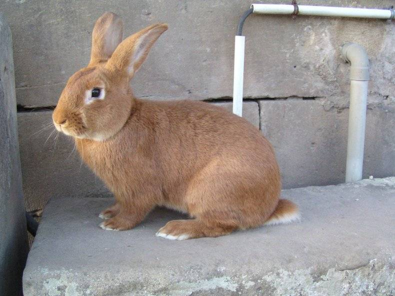 Особенности содержания и разведения кроликов рекс