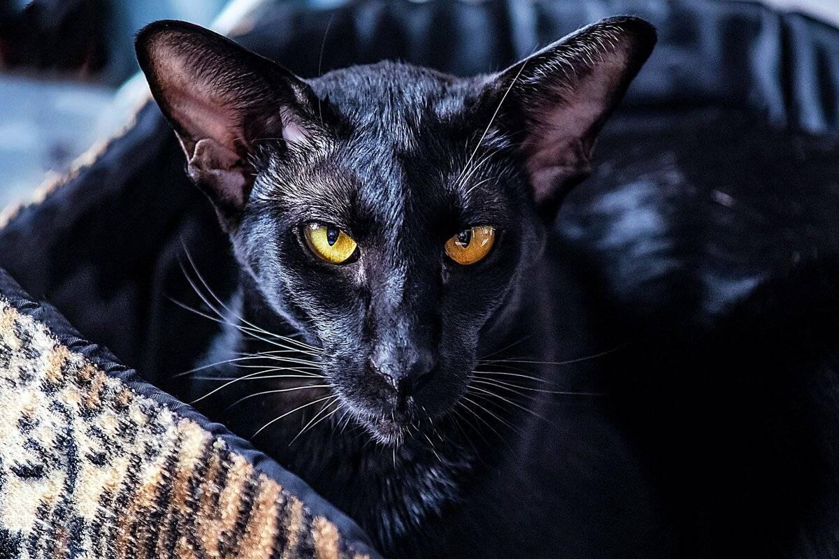 Серенгети кошка: фото, описание породы, цены, советы по уходу