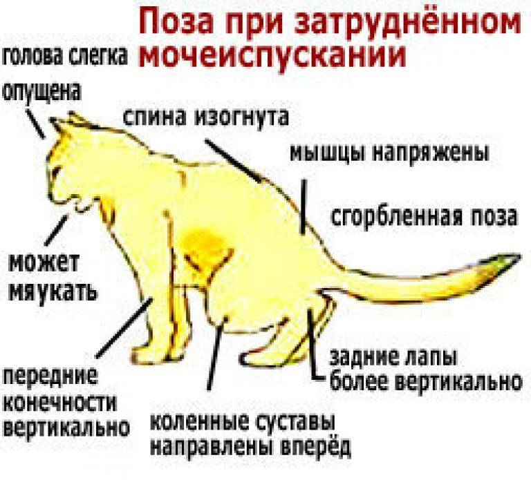 Задержка мочеиспускания у котов: причины и лечение