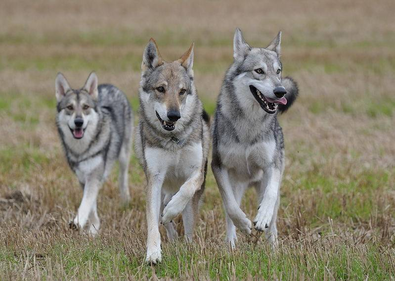 Бояться нечего — это волчья собака сарлоса