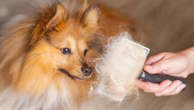Линька у собак: когда бывает и начинается, сколько длится этот период, что такое экспресс, витамины и средства от нее, а также что делать, если она зимой и сильная?