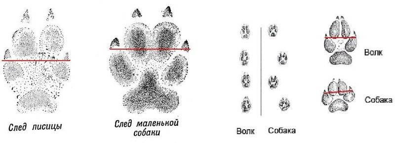 А вы знаете, как отличить волка от собаки?