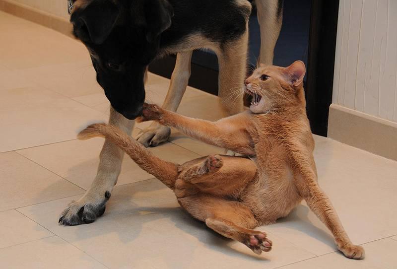 Большие гладкошерстные собаки – 28 пород