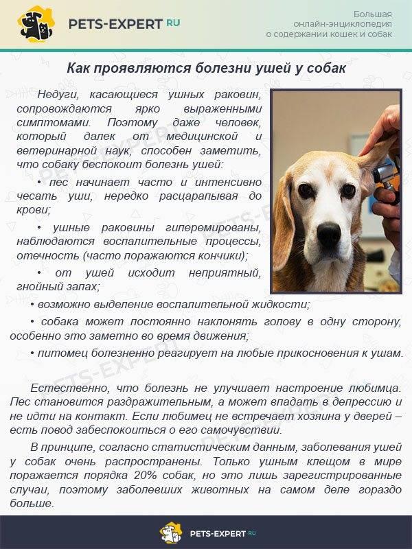 Как и чем чистить уши собаке в домашних условиях.