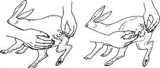 Как проходят роды и как правильно помочь крольчихе