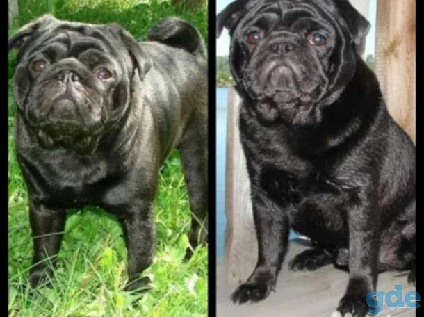 Чем отличаются черные мопсы от других окрасов: на что влияет расцветка щенка