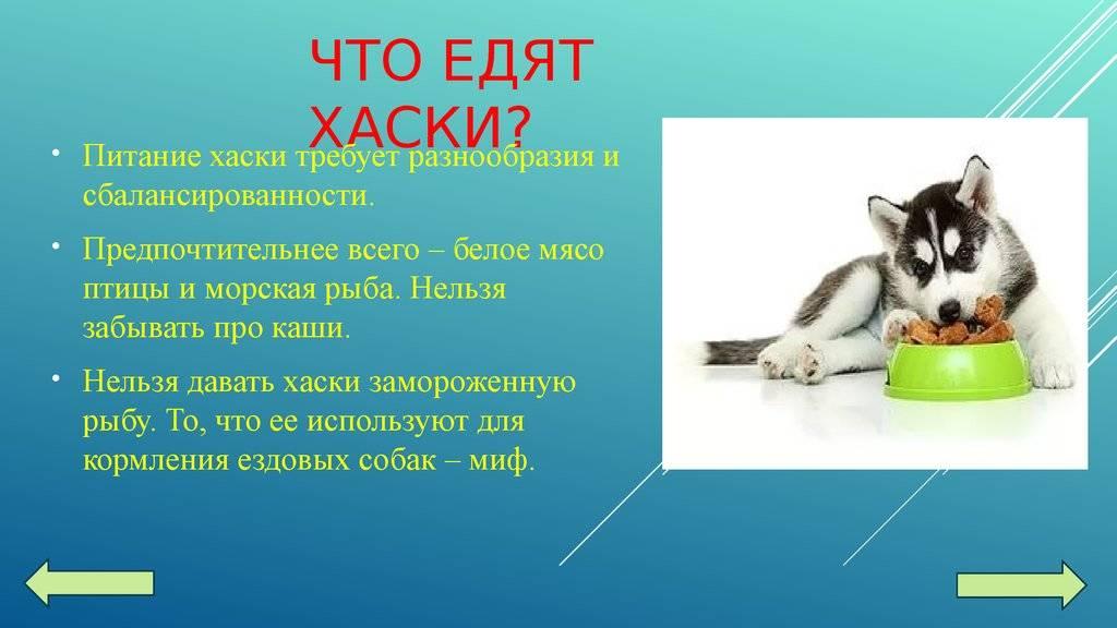 Уход за сибирской хаски