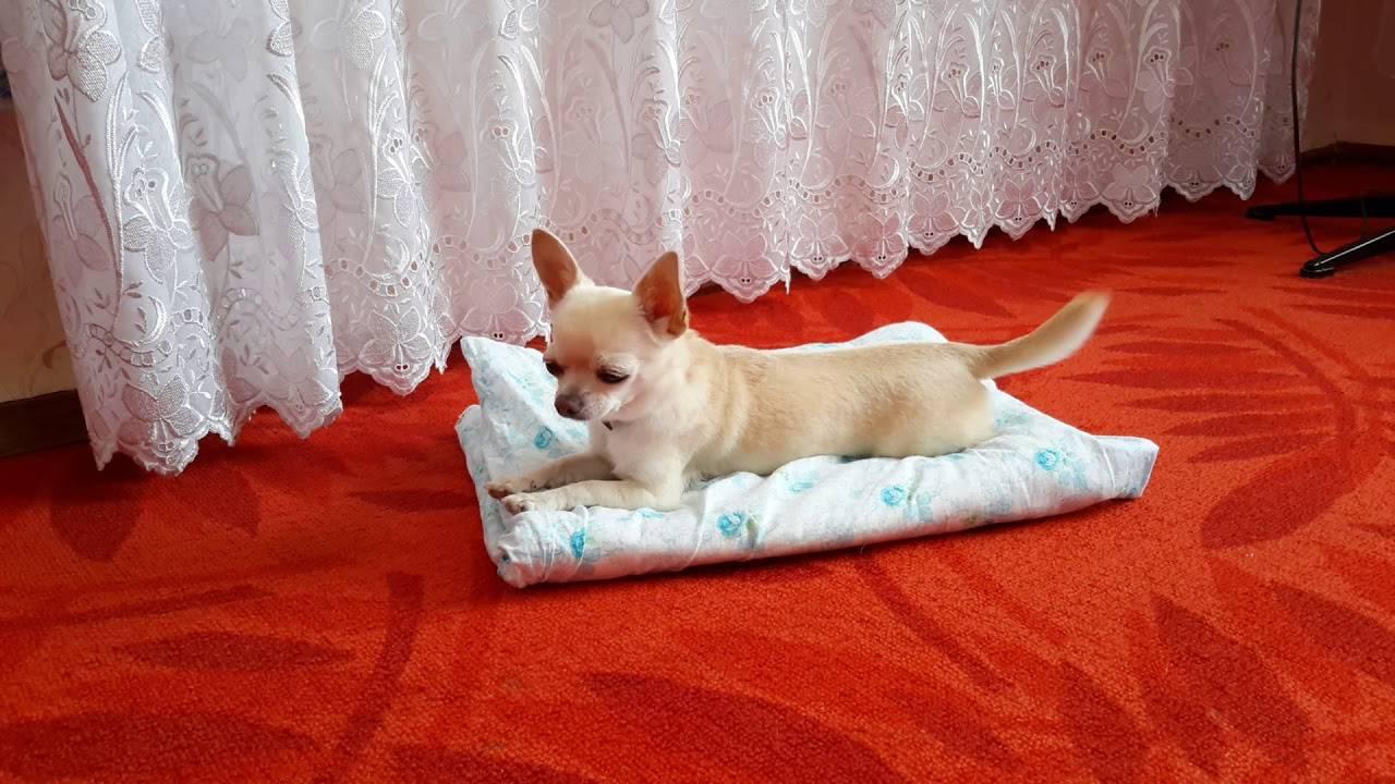 Можно ли и как приучить взрослую собаку к лотку: полезные советы и рекомендации