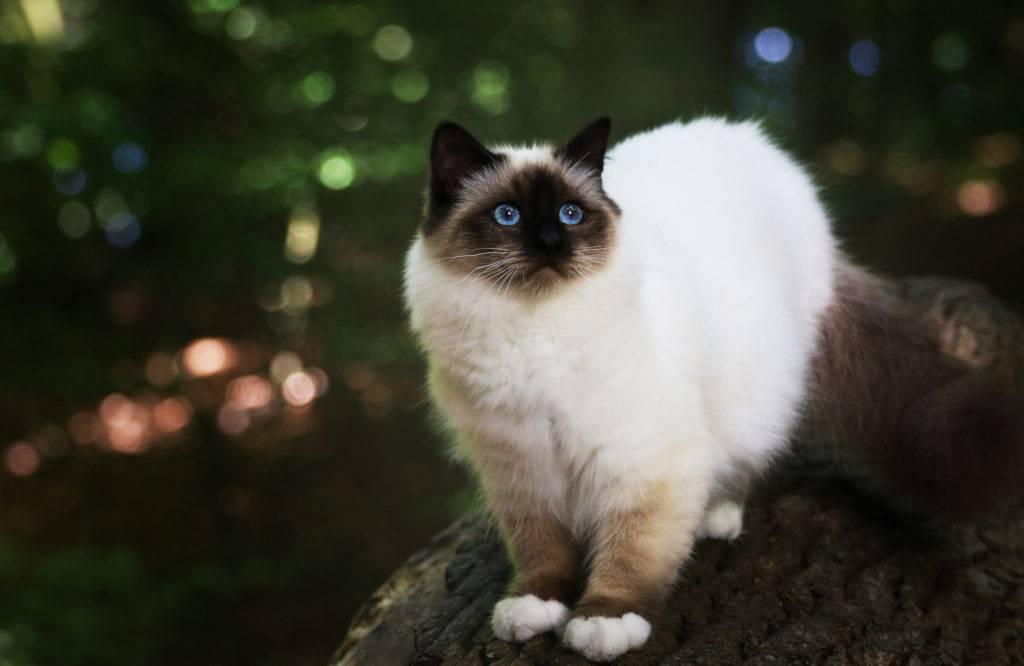 Бирманская кошка: описание, цена, уход