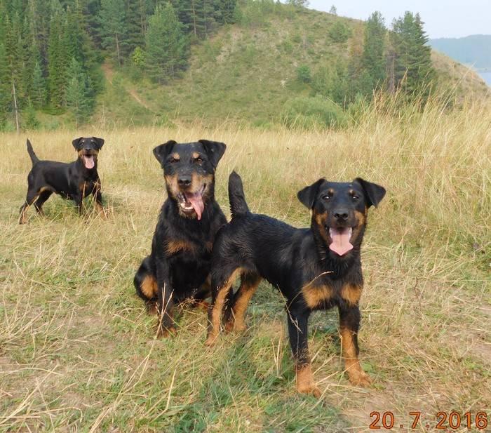 Ягдтерьер — охотничья собака, характеристика породы