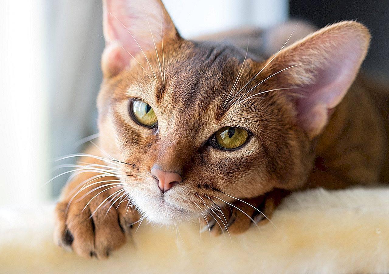 Лучшие породы кошек, топ-10 рейтинг хороших кошачьих пород