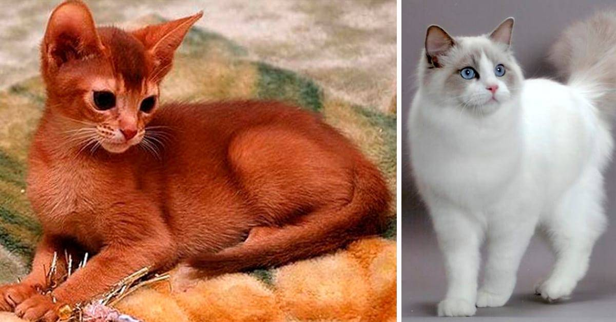 Как выбрать породу кота?