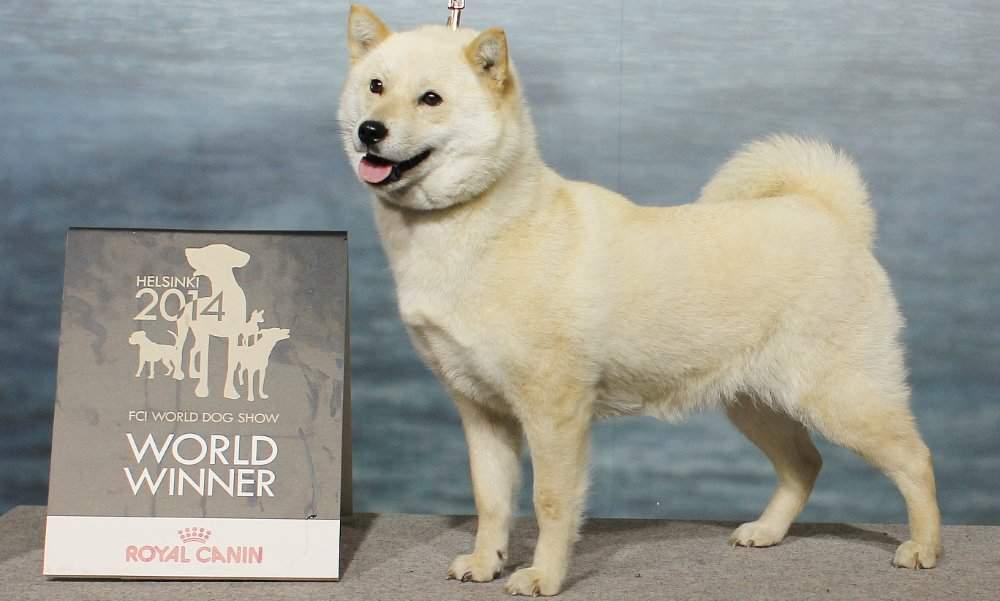 Японские породы собак: фото, краткая характеристика, особенности - kot-pes
