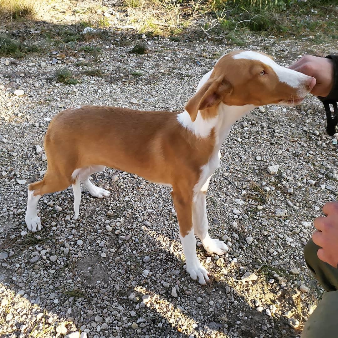 Характеристика собак породы поденко ибиценко с отзывами и фото