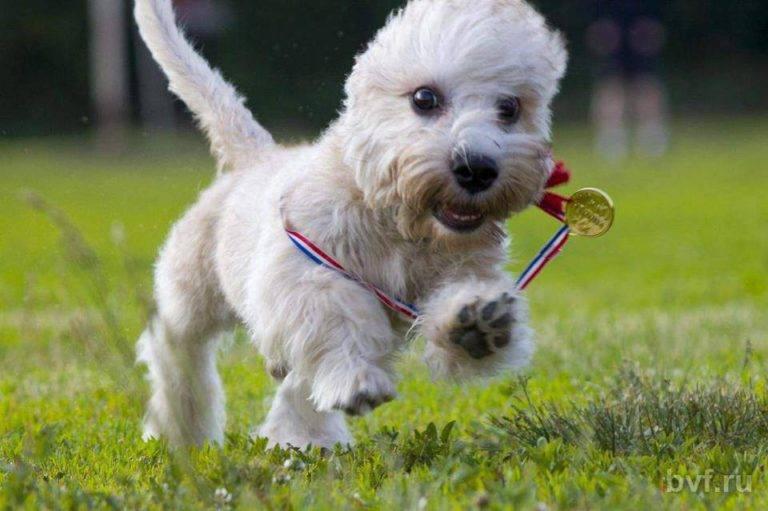 Денди-динмонт-терьер: история развития, современный стандарт, выбор щенка, уход