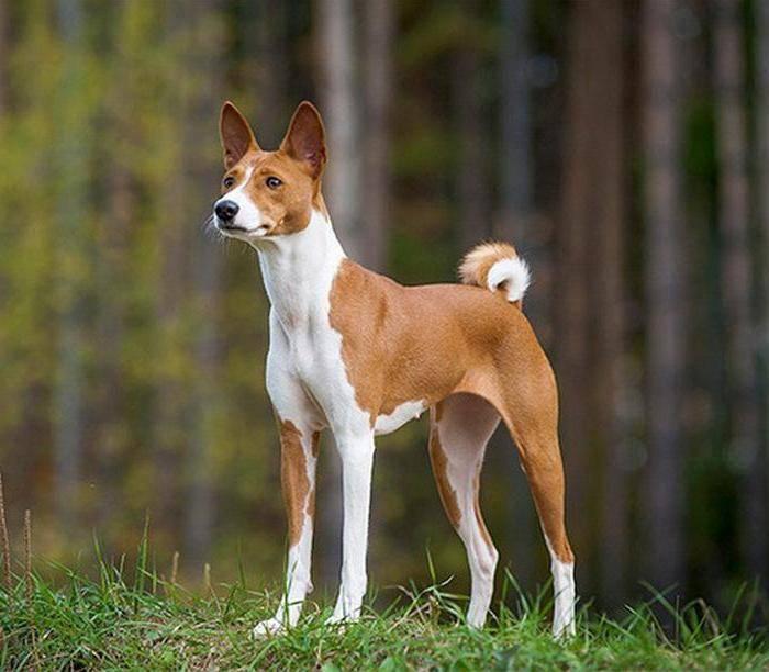 Басенджи или африканская нелающая собака — талисман египтян от заклятий и недругов ⋆ собакапедия