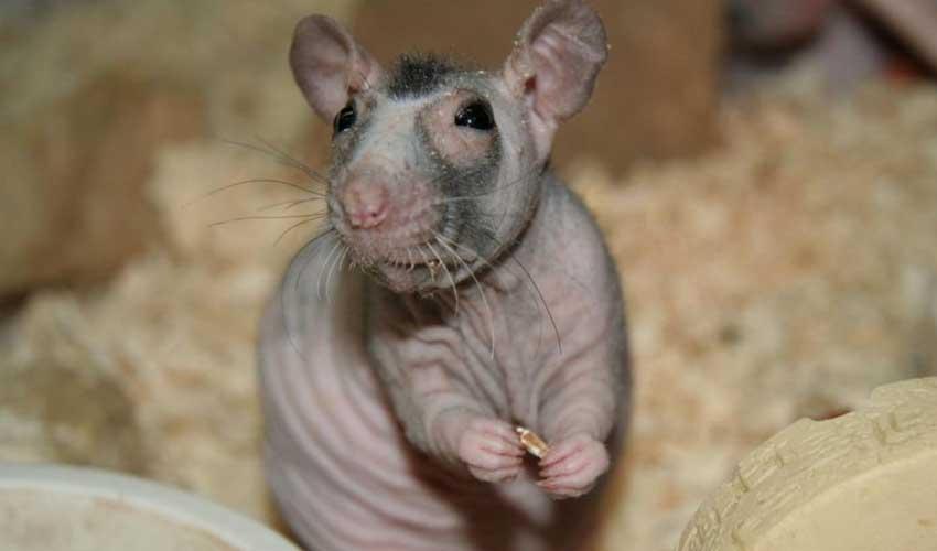 Описание домашней крысы и рекомендации по содержанию и кормлению грызуна