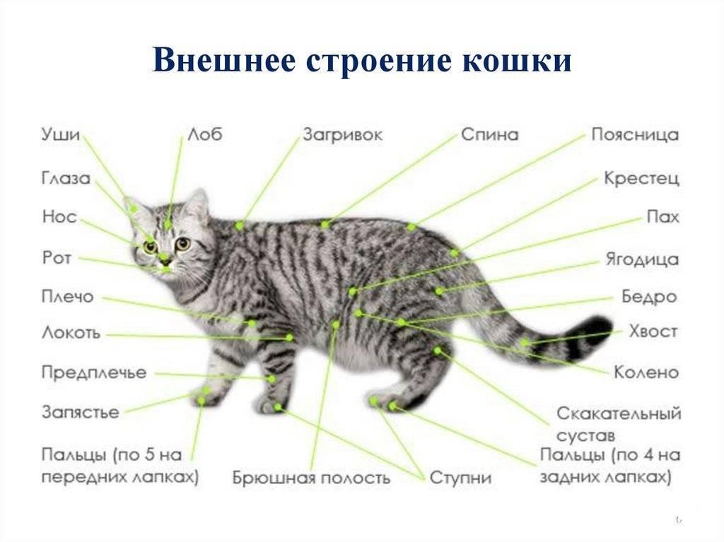 Как устроены коты: интересные факты про внешнее и внутреннее строение этихживотных