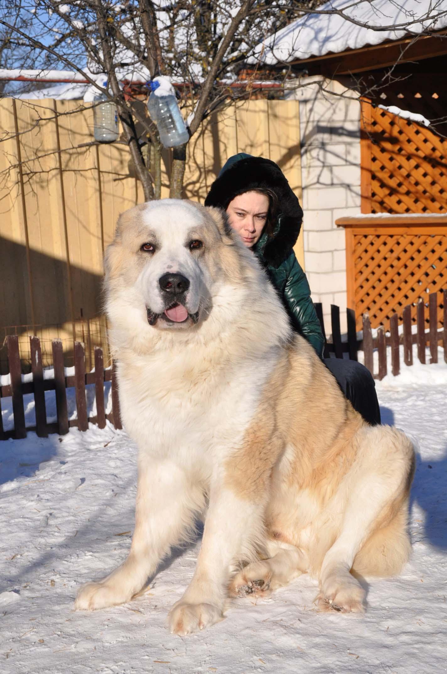 Среднеазиатская овчарка алабай: характеристика породы собак