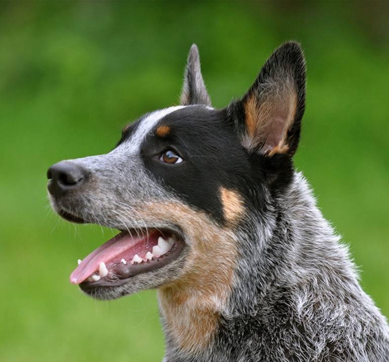 Австралийская овчарка аусси: характеристика породы, описание и фото
