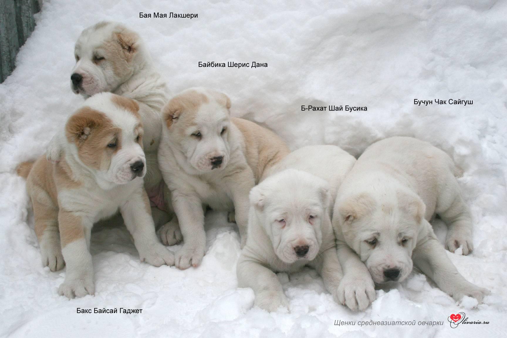 Как назвать алабая: список красивых имен для собак мальчиков и девочек.