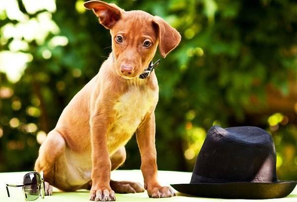 Фараонова собака: описание породы, требования к уходу и кормлению