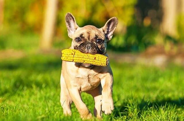 Чем кормить французского бульдога в домашних условиях: можно ли готовить еду самостоятельно и какой корм лучше выбрать для собаки