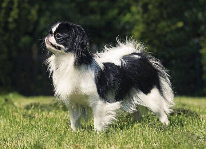 Тибетский спаниель: маленький пёс —львиноесердце
