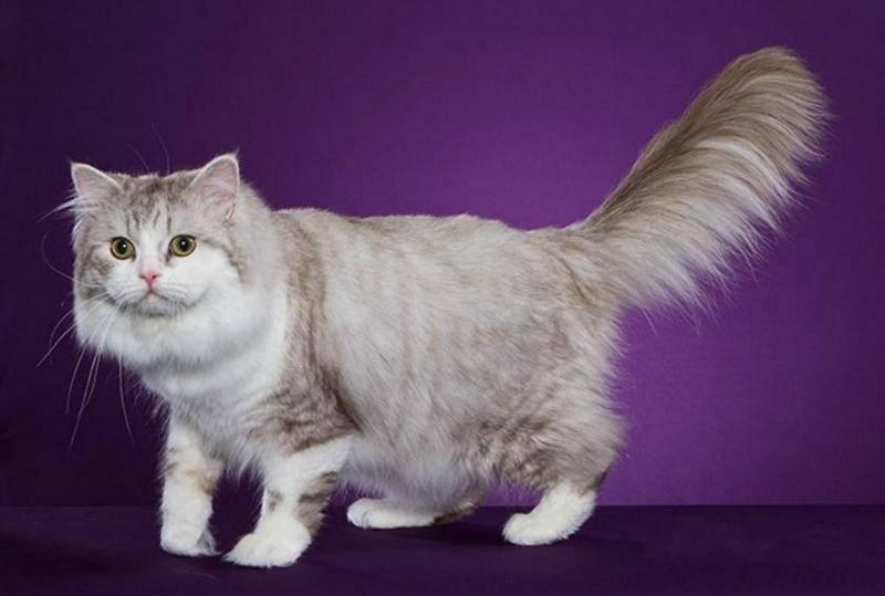 Рагамаффин: описание породы кошек и характера, уход, фото