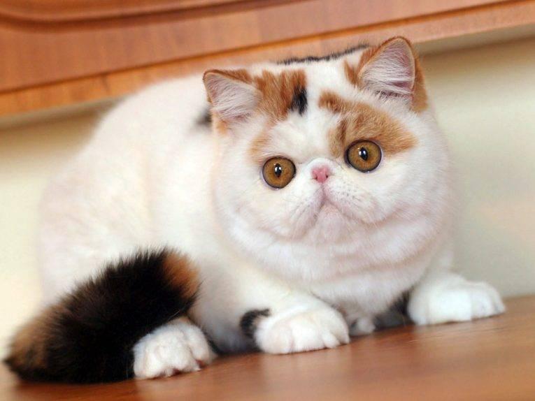 Экзотическая короткошерстная кошка (экзот): описание породы, характер (с фото)