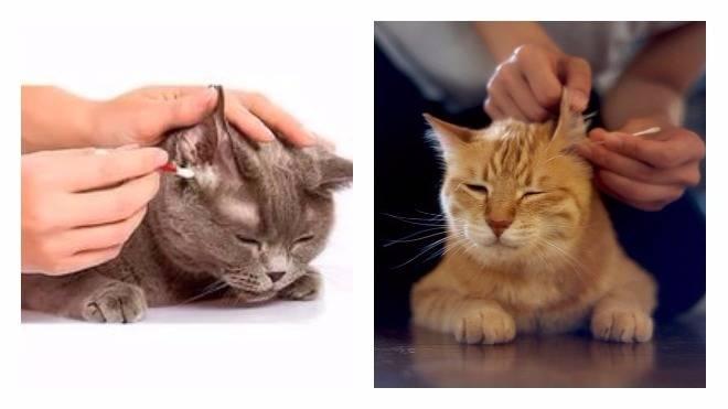 У кота грязные уши внутри — почему и что делать? | zdavnews.ru