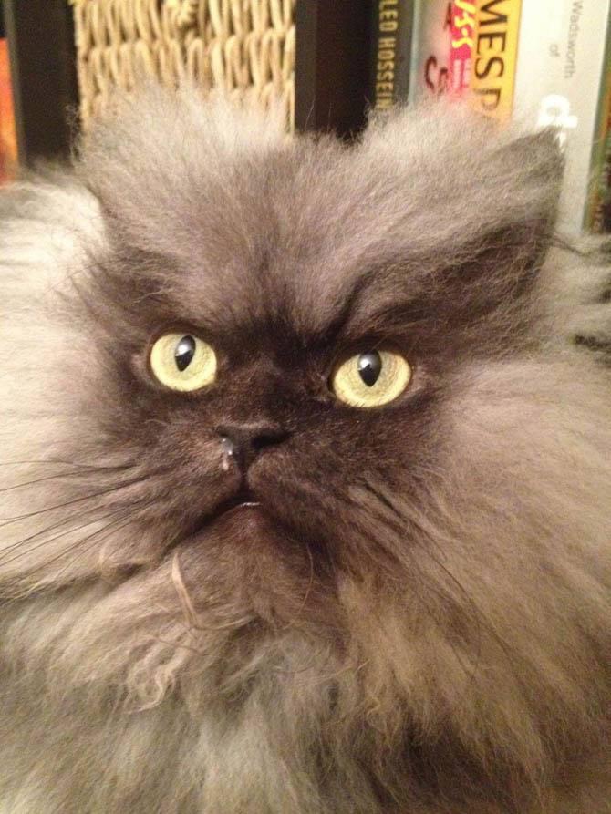 Топ-10 самых опасных пород кошек в мире