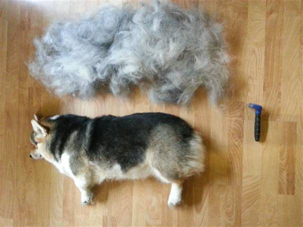 Алопеция (выпадение шерсти у собаки): симптомы, причины, лечение