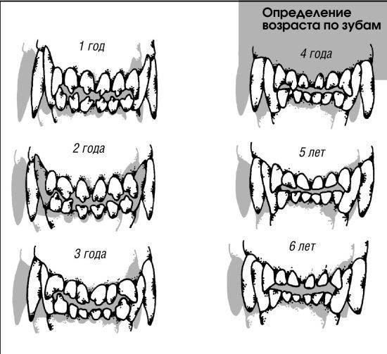 Как определить возраст собаки по зубам таблица — собачьи клыки