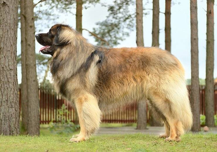 Гладкошерстные породы собак: обзор популярных разновидностей