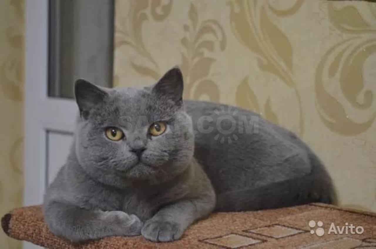 Имена для британских кошек и котов   сайт «мурло»