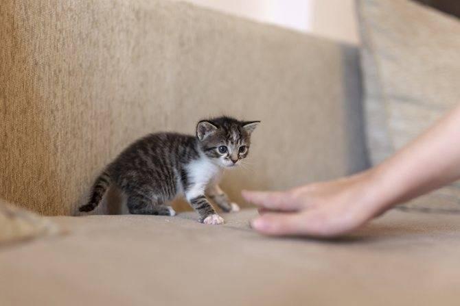Как приручить дикого котенка и воспитать его послушным